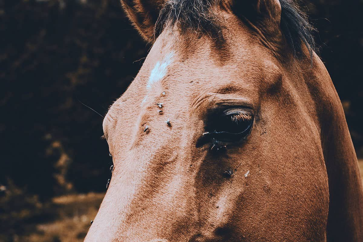 horse with flies on eyes diy bug spray cowgirl magazine