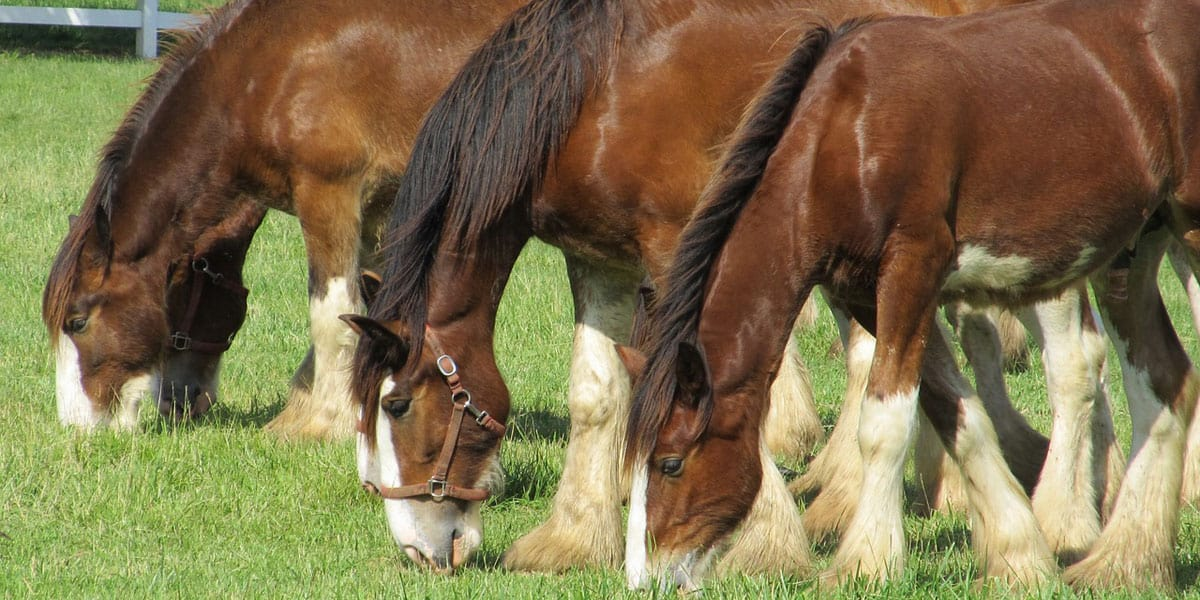 5 Fun Facts About Draft Horses Cowgirl Magazine