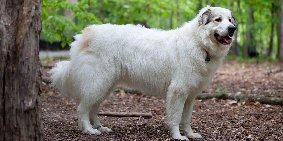 Livestock dog