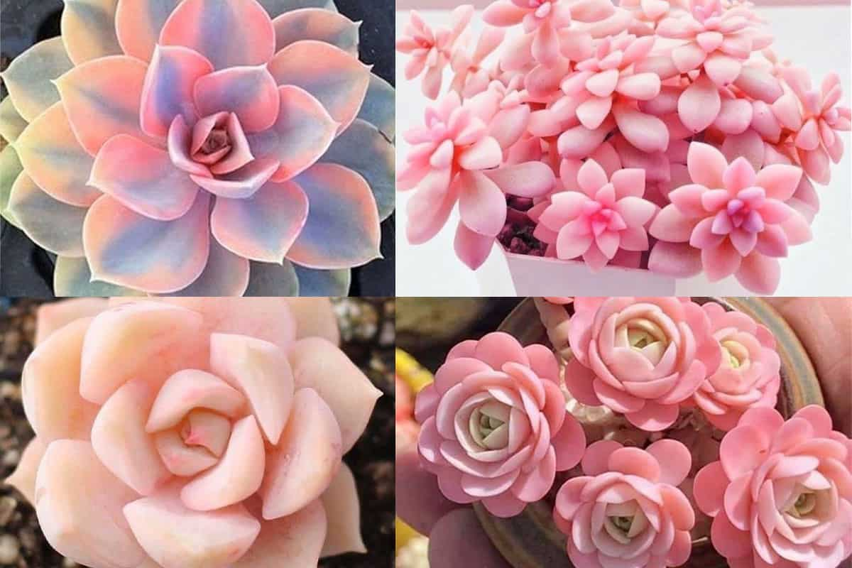 pink succulents pink cactus cowgirl magazine plant plants