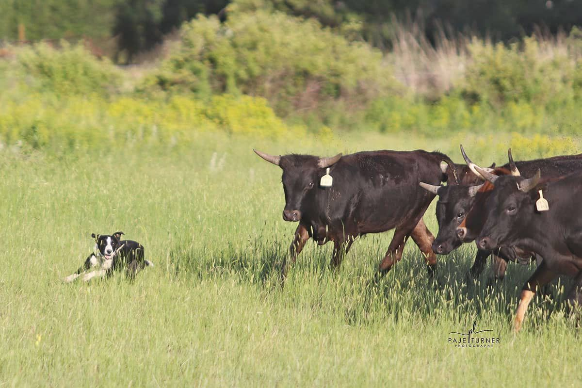 stock dog cowgirl magazine