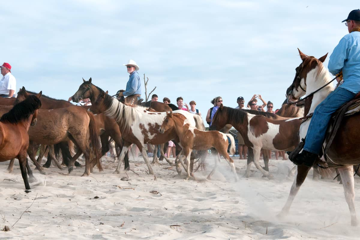chincoteague island ponies cowgirl magazine