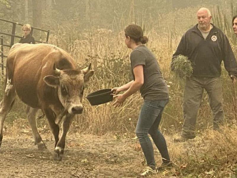 cowgirl 911 cattle evacuations oregon cowgirl magazine