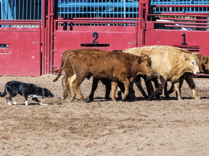 Working Cow Dog - COWGIRL Magazine - November