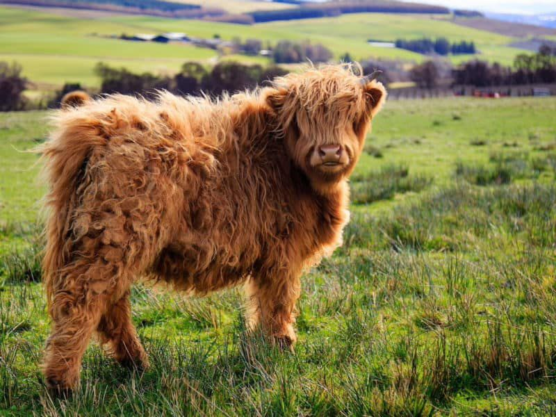 miniature cow cowgirl magazine
