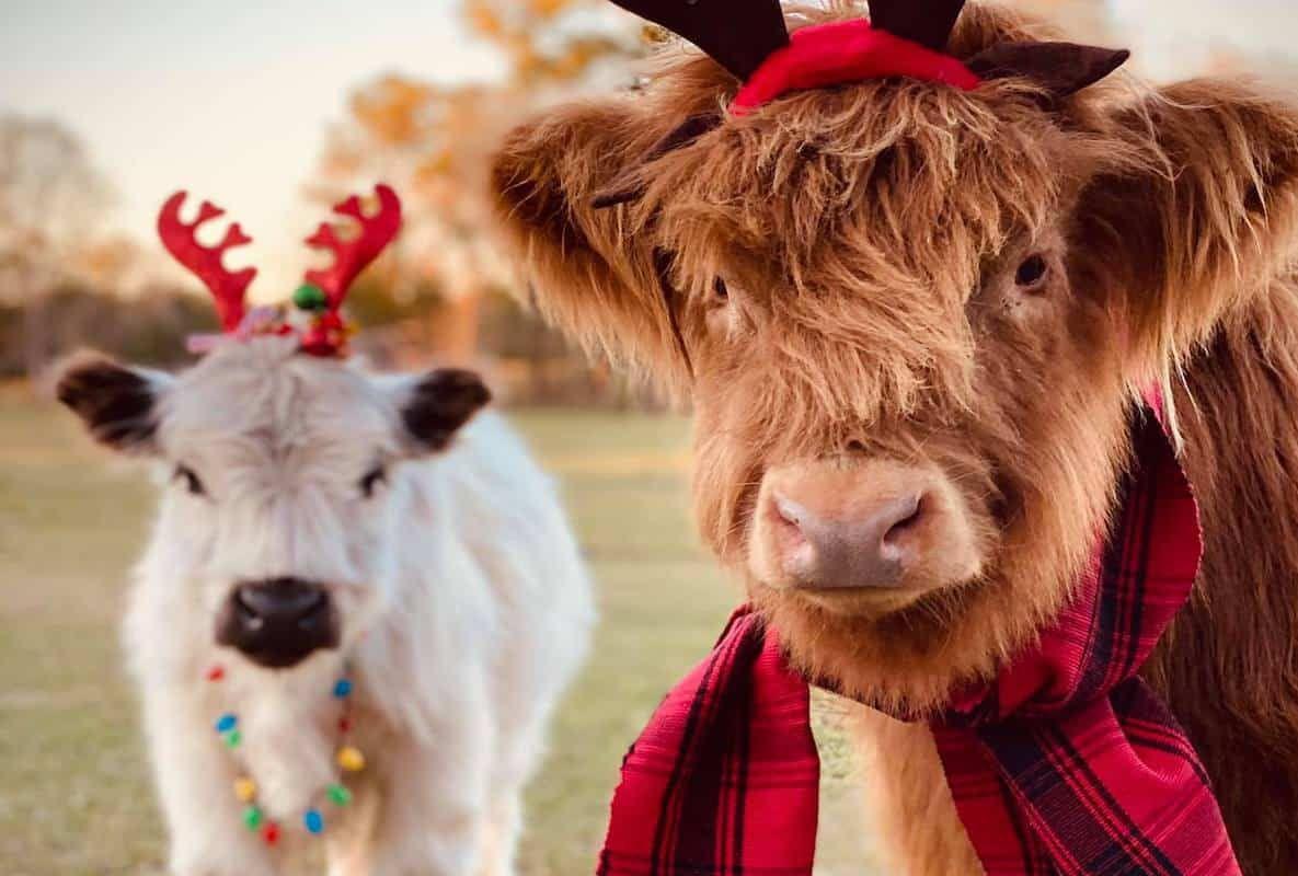 miniature highlands cowgirl magazine