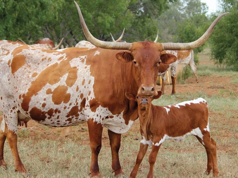 longhorns cowgirl magazine