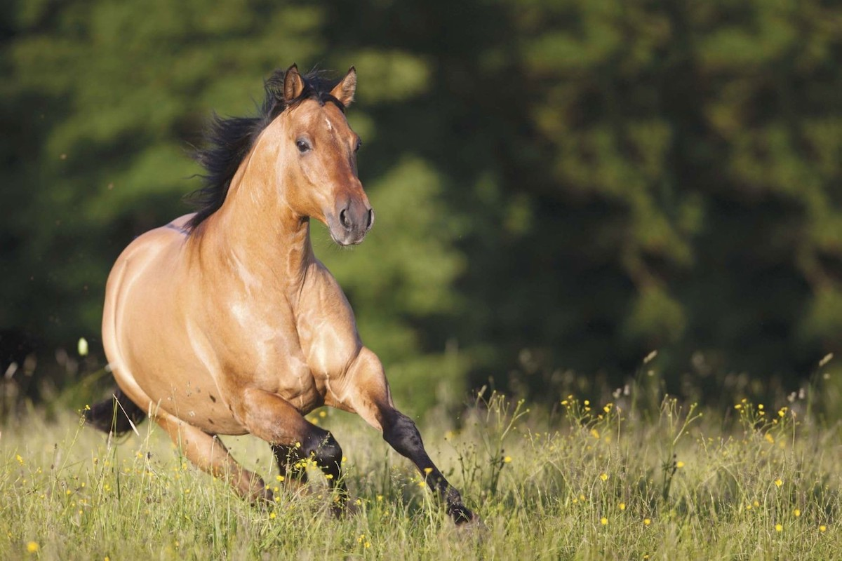 490 best Quarter Horse the AQHA images on Pinterest