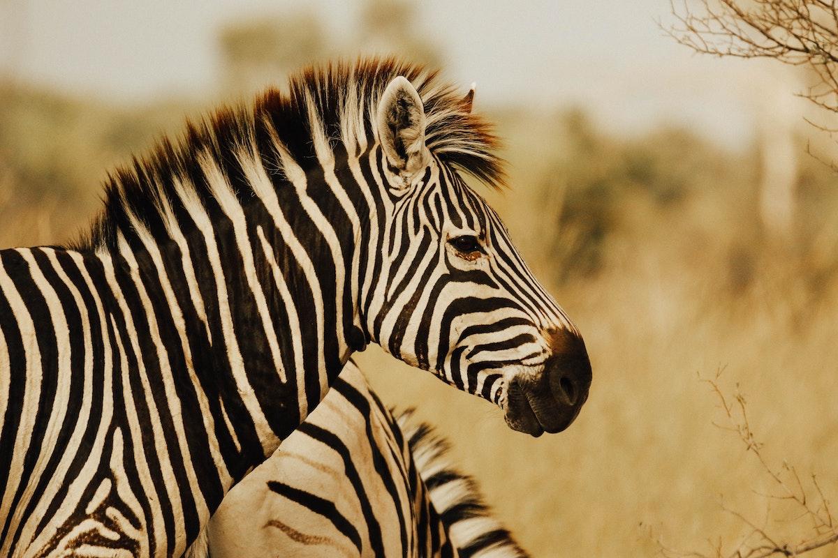 zebra cowgirl magazine