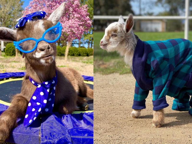 goat cuteness cowgirl magazine