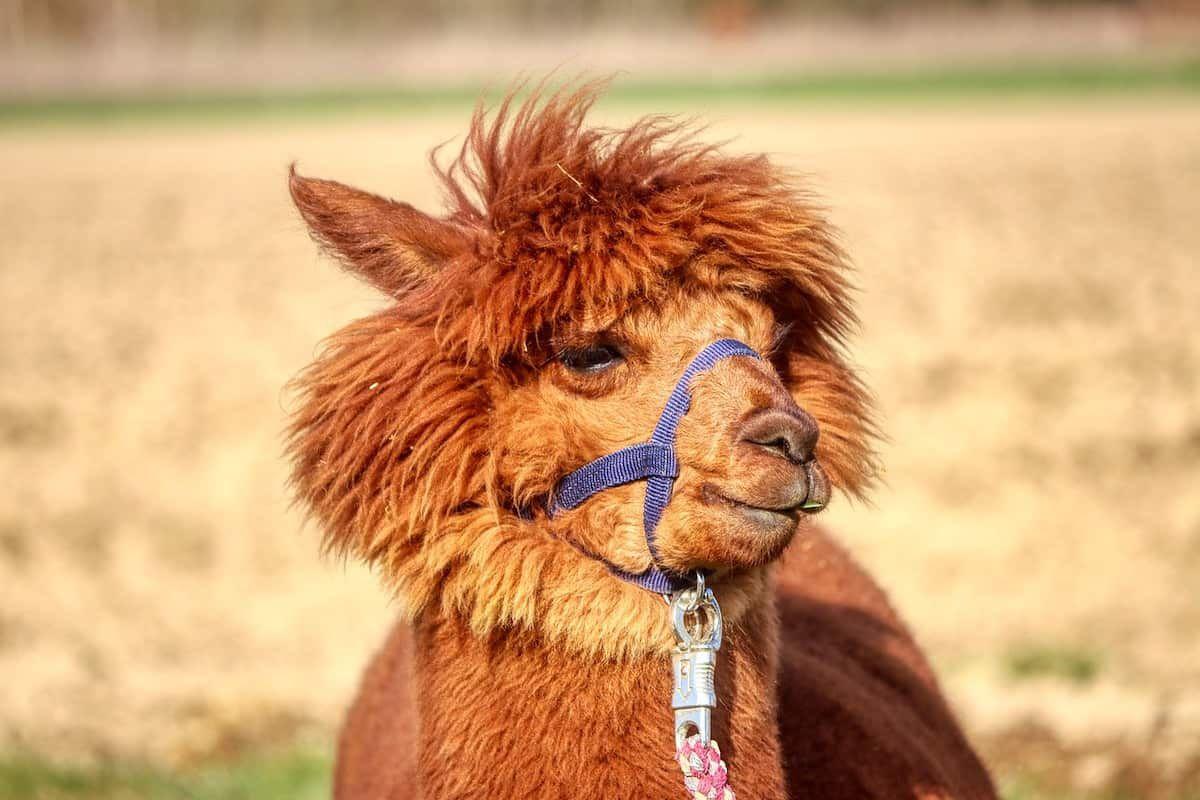 alpaca cowgirl magazine