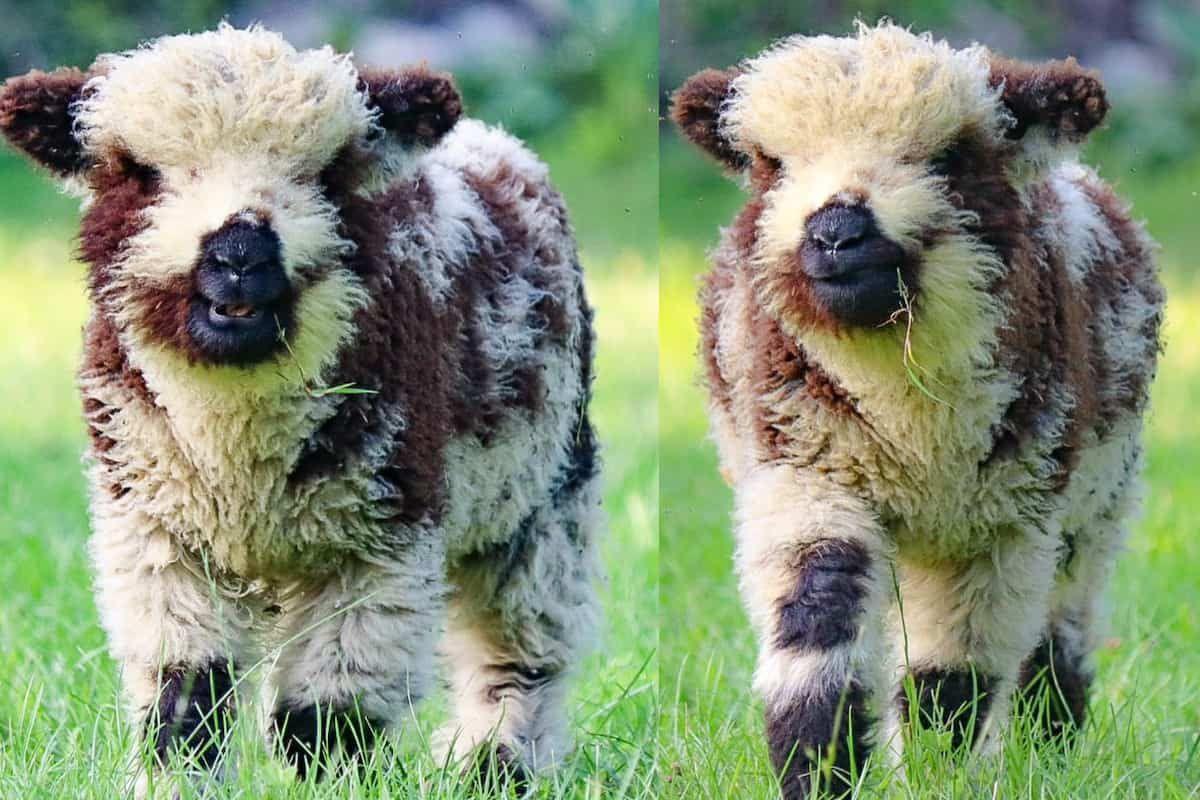babydoll sheep cowgirl magazine